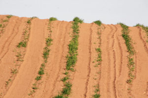 Dry, arid conditions has ruined a planted crop.